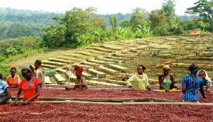 خرید دانه قهوه عربیکا اتیوپی رست مدیوم دارک لایت