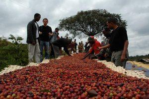 اوگاندا عربیکا، فروش دانه رست شده