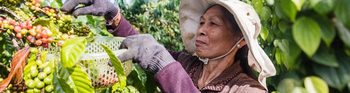خرید قهوه روبوستا ویتنام رست دارک و مدیوم دارک