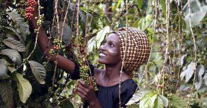 خرید قهوه عربیکا تانزانیا رست مدیوم